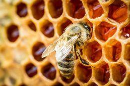 Медовые соты и пчела