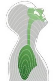 Упрощенное изображение дыхательной системы человека